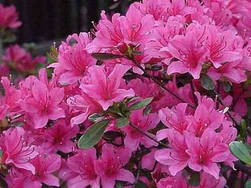 Azaleas are a common plant, found in gardens all over the world. Its flowers are white to deep pink, red, yellow, purple, blue and orange.    Despite its popularity all parts of the Rhododendron are highly toxic, and may be fatal if eaten. Symptoms from ingestion include over-salivation, watering of eyes and nose, abdominal pain, loss of energy, depression, nausea and vomiting, diarrhea, weakness, difficulty breathing, progressive paralysis of arms and legs and coma, usually leading to…