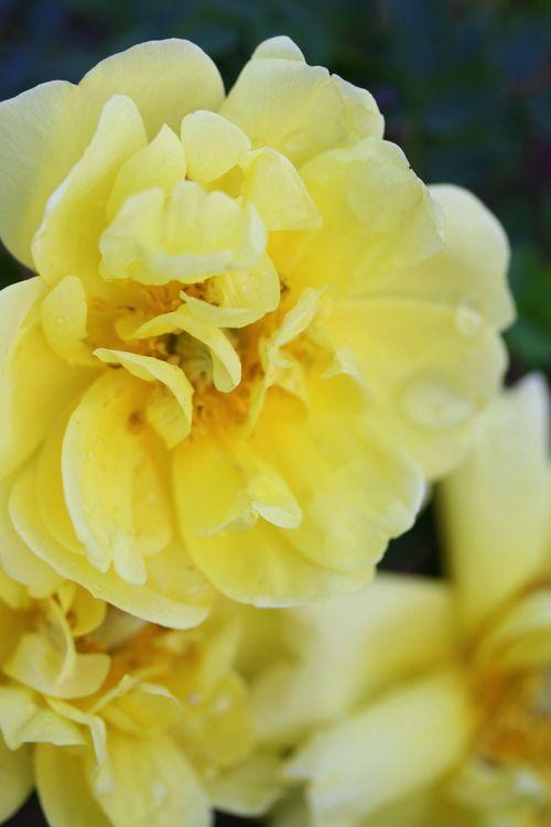 'William's Double Yellow'