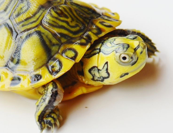 Clown Yellow Bellied Slider.