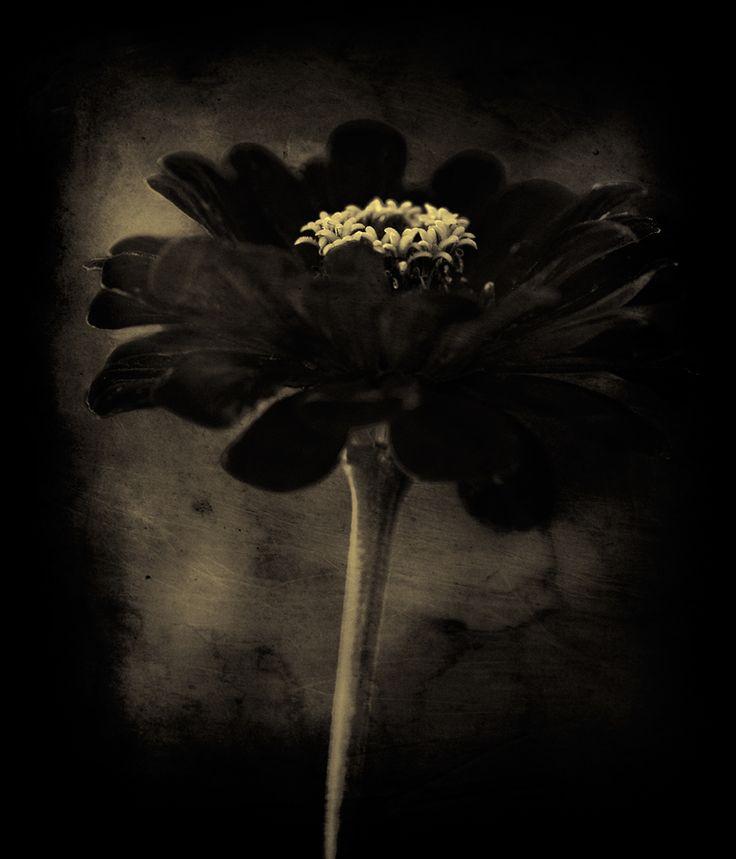 Zinia I - Photography by Lionel Hug. S): Botanical Photography, Black Whit Photography, Monochromatic Flowers, Monochromatic Photography, Art Fleurs Du, Black White, Beautiful Flowers, Charcoal Grey Black, Giselle S Wilis