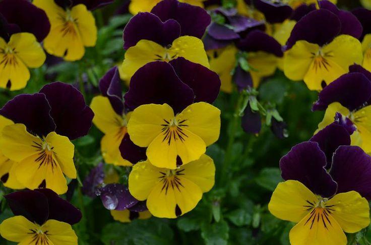 fb-gruppen: HAGEFIOLER, Småblomstret Stemor  www.blomste-svein.com