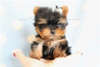 Teacups Puppies For Adoption Tiny teacup yorkie