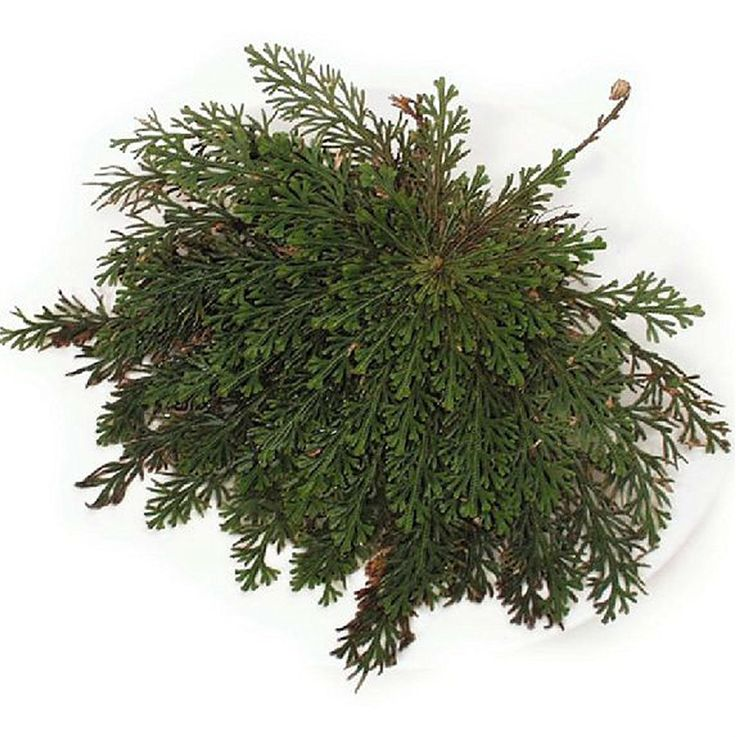 Planta de Rosa de Jericó (Bartl). Puedes conseguirla en http://magia.esoterik-a.com/producto/planta-rosa-jerico-bartl/