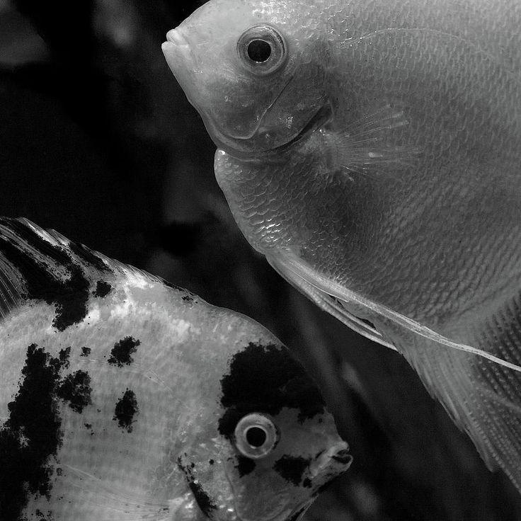 Eye To Eye By Irina Safonova Photograph -  Angelfish  Eye To Eye by Irina Safonova#IrinaSafonova#Works #FineArtPhotography #HomeDecor#IrinaSafonovaFineArtPhotography #ArtForHome #FineArtPrints #HomeDecor #Animal # Fish      #Flora#Flower