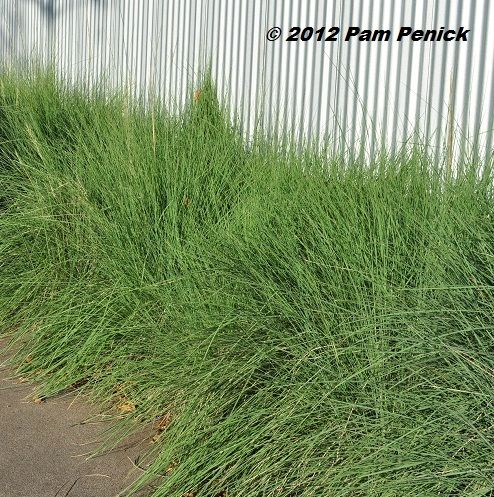 native lindheimer muhly grass edges the sidewalk outside a corrugated metal fence in east austin
