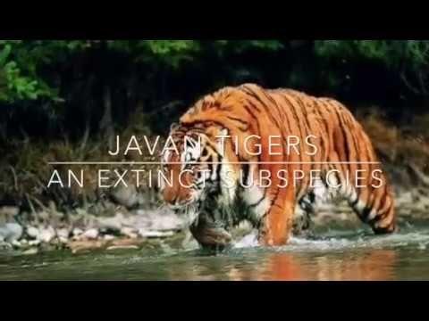 Javan Tigers | An Extinct Animal Subspecies