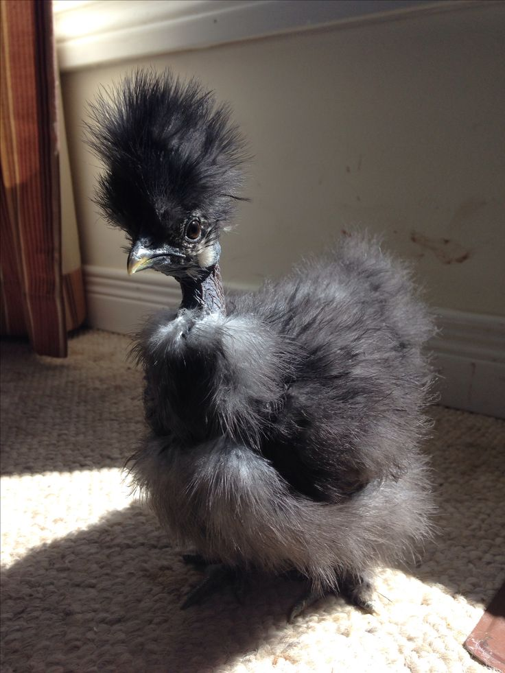 25 best ideas about fancy chickens on pinterest frizzle for Fancy chicken coops for sale