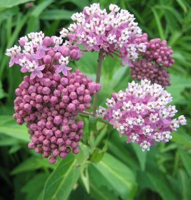 Asclepias incarnata                      Asclépiade incarnate - Swamp milkweed  Floraison =   juillet et août    Hauteur = 120 cm    Espacement = 45 cm       Zone =  3    Plante produisant de magnifiques ombelles de fleurs roses parfumée en juillet et août.  Attirant de nombreux papillons et pollinisateurs, c'est la plante-hôte du papillon monarque. Préfère un sol frais ou humide.  Indigène