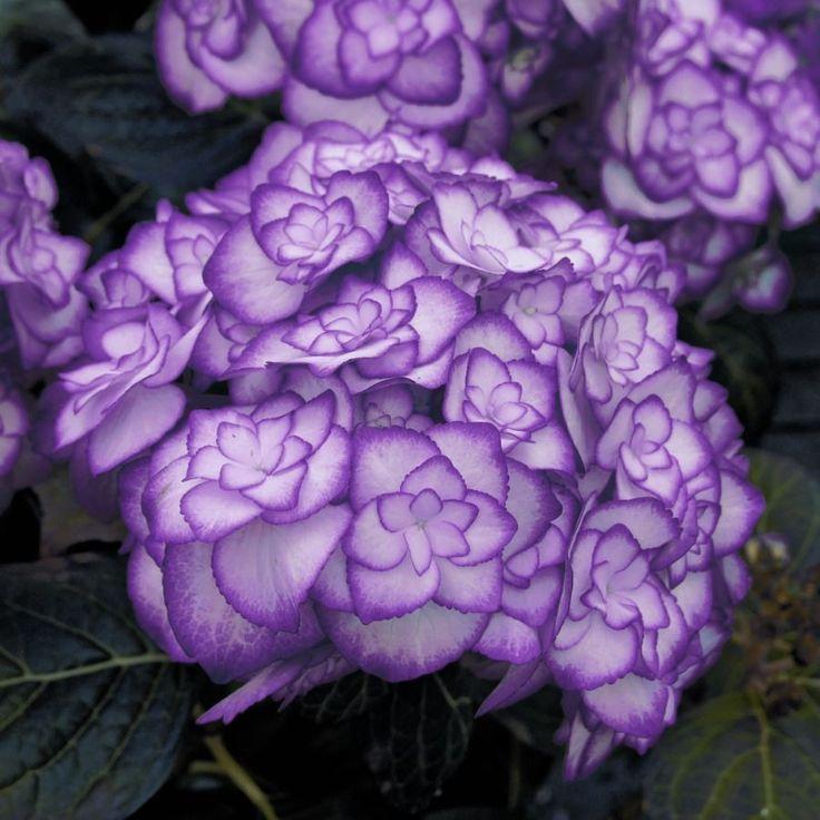 Hortensie u0027Miss Saori violett-blauu0027 ® online kaufen \ bestellen
