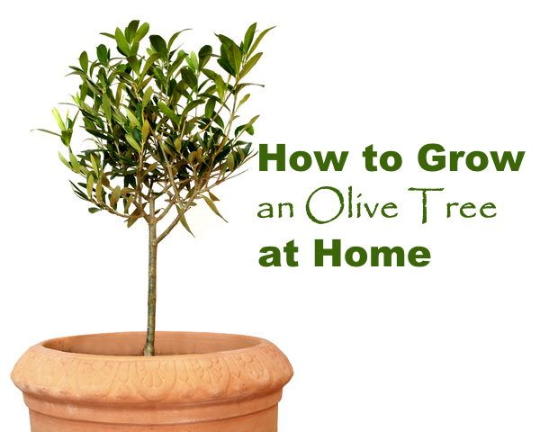Pin By Suzy Sauza On Indoor Plants In 2020 Growing Olive Trees Potted Olive Tree Olive Tree Care