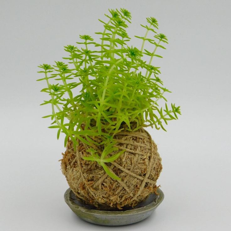 """16 Likes, 1 Comments - Bunch About Town (@bunchabouttown) on Instagram: """"Need a kokedama to help climb your hump day wall? Well, we got the goods. Order now…"""""""