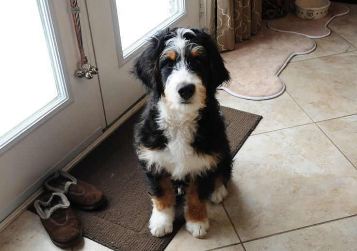 Alfa img - Showing > Mini Bernedoodle Puppy Info
