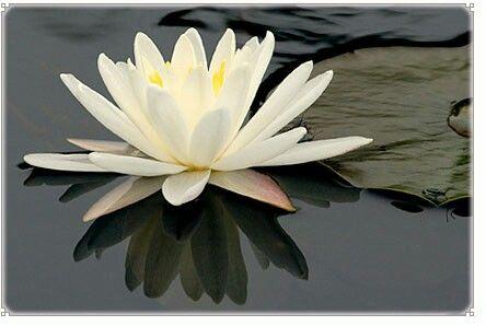 """Il fiore di loto cresce in acque fangose, elevandosi sopra di esse. Allo stesso modo la mente deve sapersi elevare al di sopra del """"fango""""."""