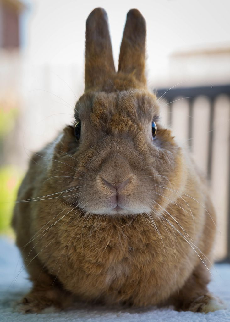House Rabbit Resource Network of Austin Texas- rabbit adoption and information nonprofit