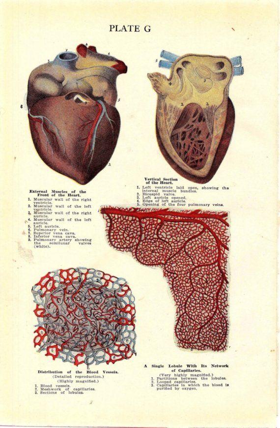 The 133 best Anatomy illustation images on Pinterest   Human anatomy ...