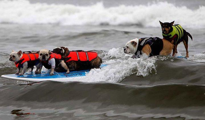 Surf's up dude!: Bulldogs Mi, Dogs Competition, Bulldogs Just, Funny Dogs, English Bulldogs, La Me Surfing Dogs, Surfing S, Huntington Beaches, Animal Funny