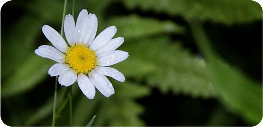 Purity, Joy, Innocence - these are just a few themes underling the symbolic meaning of daisy. Check out this page to learn about daisy meaning in history, culture and symbolism.