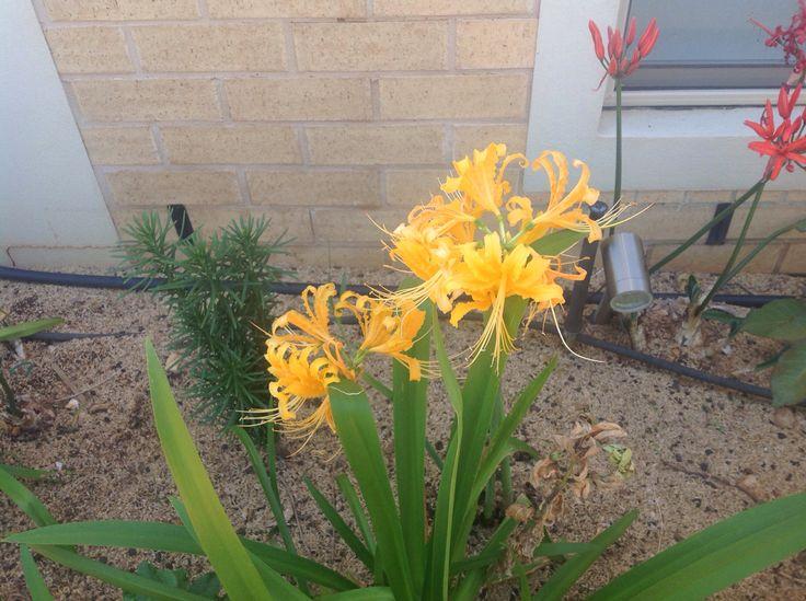 Lycoris (mums garden)