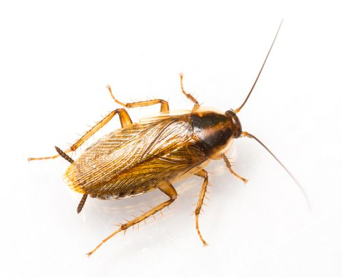 If you think you may have cockroach issue, it's probably a German cockroach. Our pest control experts explain how to get rid German cockroaches in Maryland.