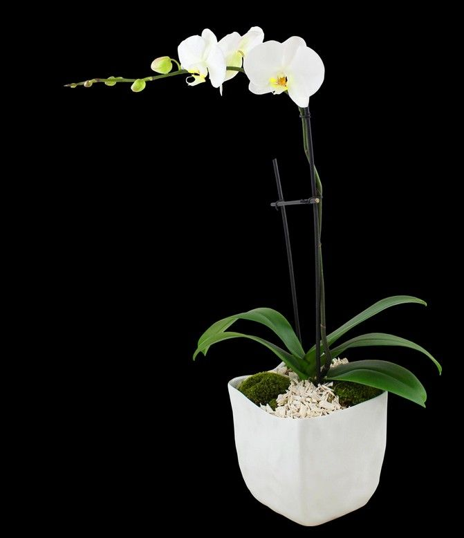 Phalaenopsis Orchid best office plants - SnapSuites boston back bay executive office space