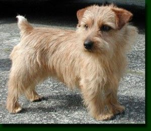A male adult Norfolk Terrier