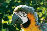Las guacamayas son aves emblemáticas de la Amazonia colombiana; como la mayoría de Psitácidos, están amenazadas de extinción por el tráfico ...