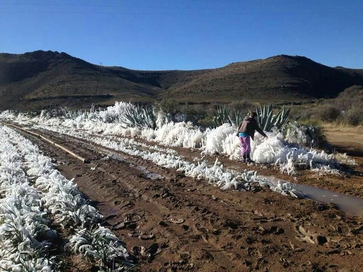 Frosted Aloes
