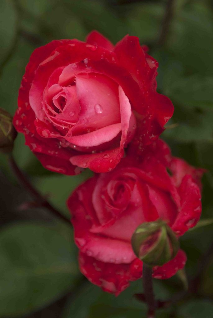'Milestone' | Hybrid Tea Rose.