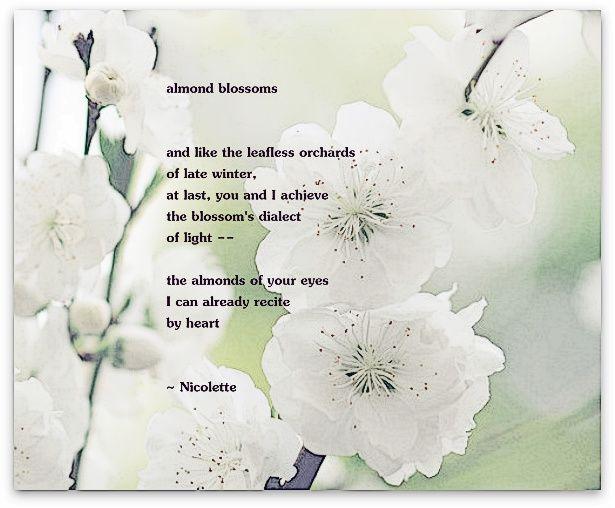 Almond blossoms © Nicolette van der Walt