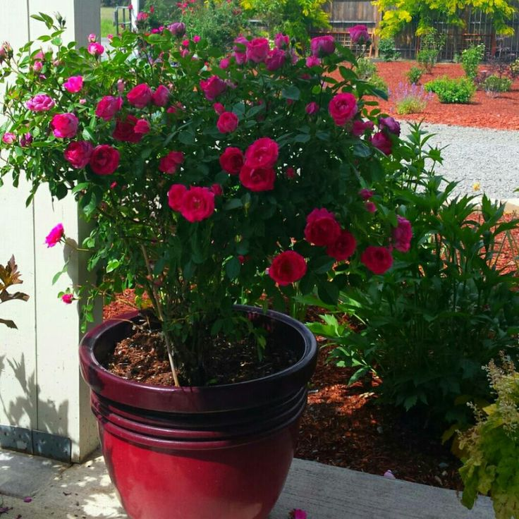 This Lovely Rose Was Grown From A 4 Inch Rose 2 Years Ago!