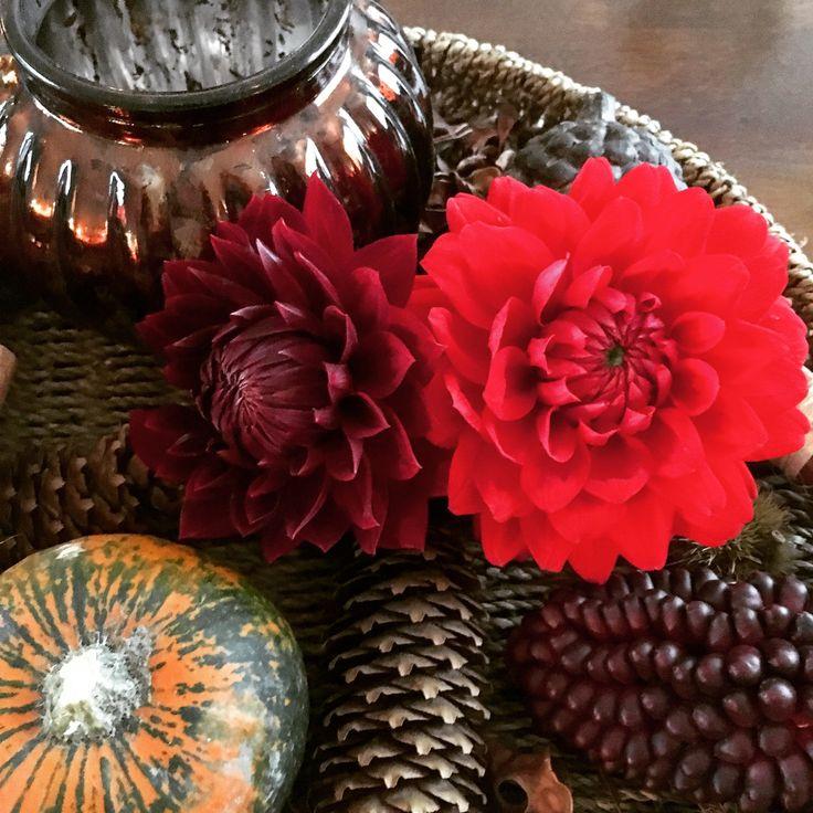 Dahlia rood / dahlia red