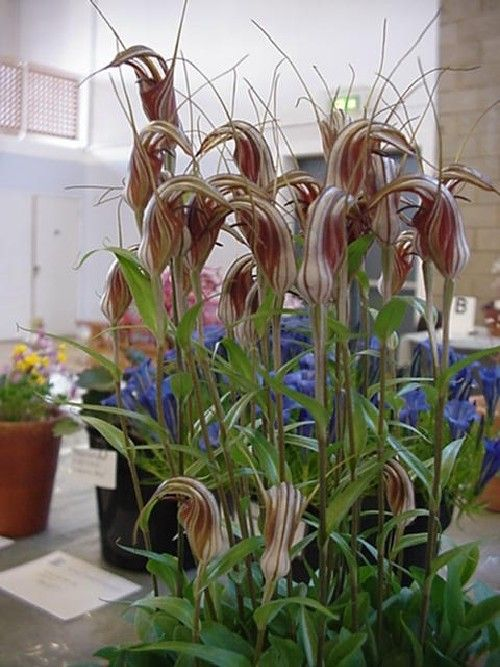 Pterostylis | www.alpinegardensociety.net/image_files/sizedMVC-742S194.JPG