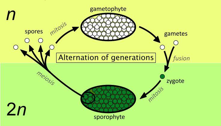 Alternation of generations simpler - Alternation of generations - Wikipedia
