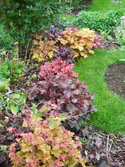 Forget hostas... heucheras will rock your shade garden with a four season riot of color. Love them!