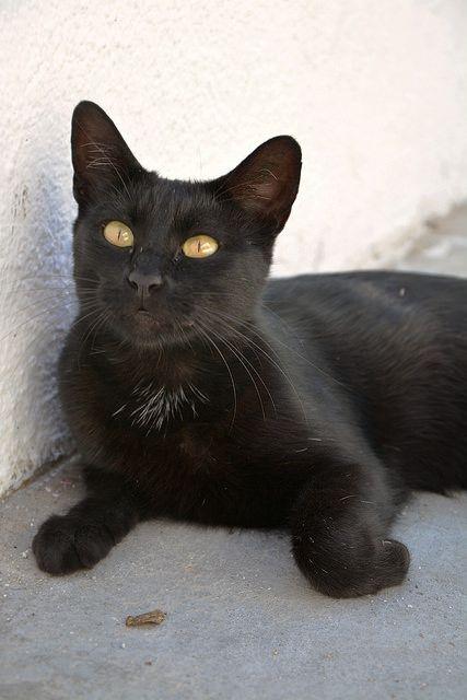 Pretty black cat - Cat, Imerovigli ... by junepurkiss via Flickr.com
