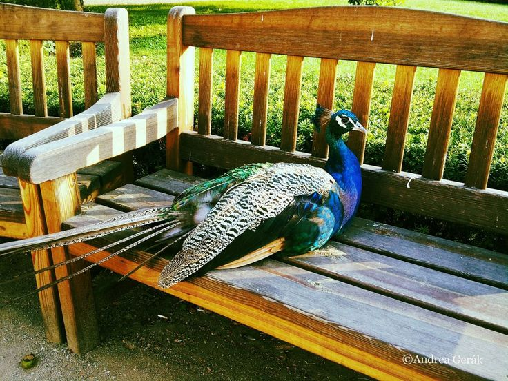 A peacock taking his morning sunbath in Vojanovy sady (Vojanovy Gardens), a relaxing paradise hidden away from tourist noise in Prague's Mala Strana (Lesser Town), in August 2015 This picture is to...