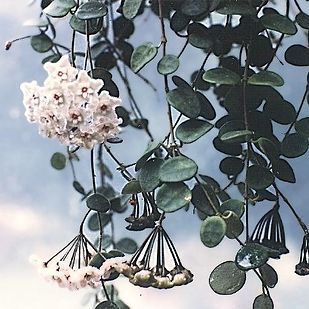 11. Hoya Plant  There are around two hundred species of Hoya, but they are typically tropical plants that need relatively high heat and humidity. The incredible, symmetrical blooms can be breathtaking.