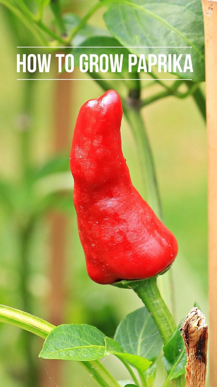 Learn to grow Paprika peppers with this how to guide. You can start growing paprikas this spring!
