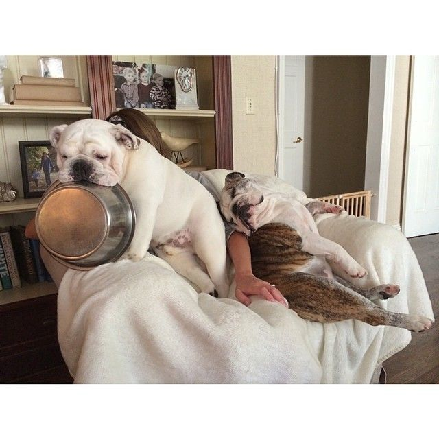 The fact that this is normal, really scares me. #bulldog #bowldog #Padgram