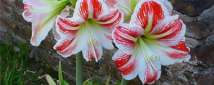 Guia rápido do plantio de flores bulbosas - Lírios, narcisos, gladíolos, gloriosas… a lista de plantas bulbosas é tão grande quanto sua variedade de flores, sempre vistosas. Em comum, essas espécies têm uma estrutura subterrânea capaz de armazenar água e nutrientes, o bulbo. Ele pode ser pequeno como um dente de alho, grande como uma cebol... - http://www.dinheirodigital.com.br/ecoblog/2015/06/18/guia-rapido-do-plantio-de-flores-bulbosas/