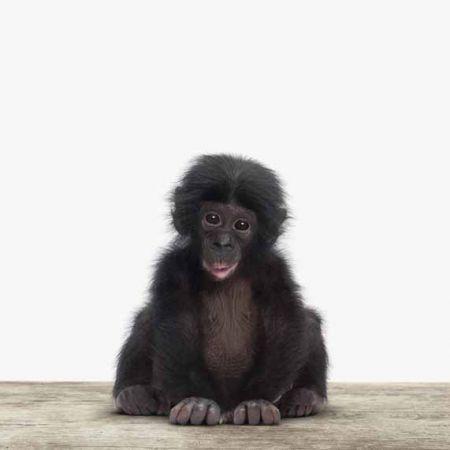 Baby chimpansee canvas 60x40 cm