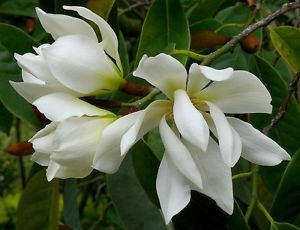 Michelia-Excelsa-Tree-The-Temple-Magnolia-Doltsopa-10-Seeds-Very-Fragrant