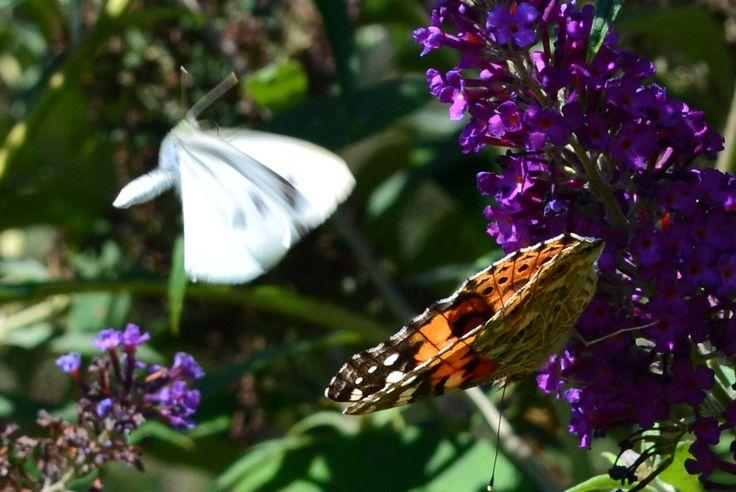 Szárnyasok / Butterflies