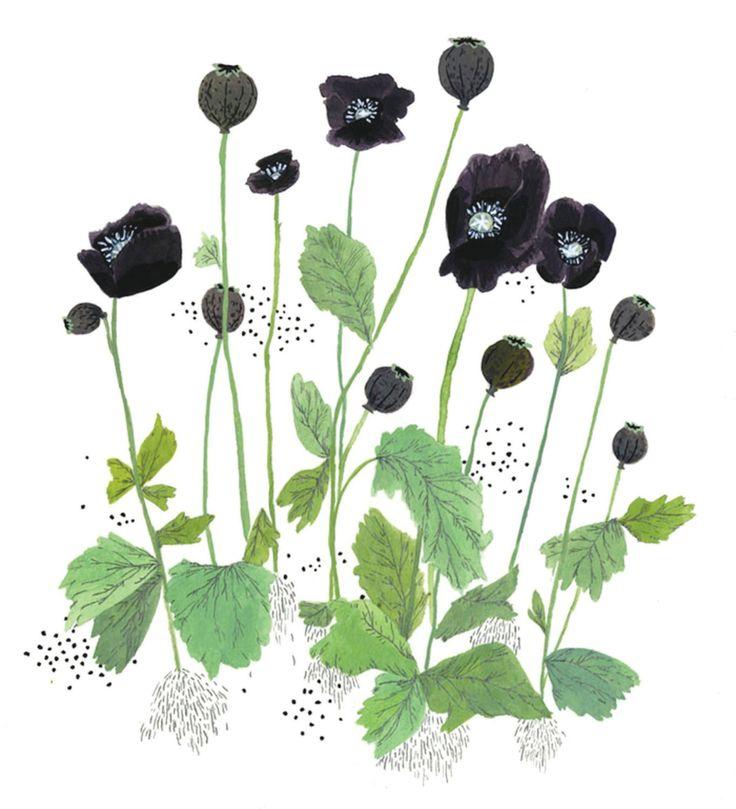Archive illustration | Feather and WebbFlower Painting, Inspiration, Beccastadtlander, Illustration, Art, Flower Prints, Black Flower, Becca Stadtlander, Black Poppies