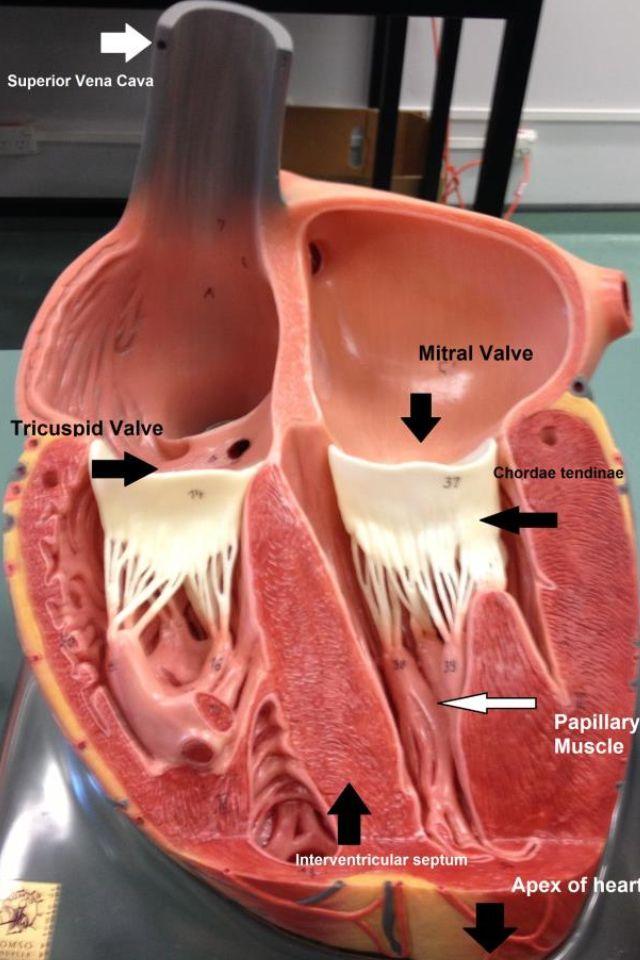 Cardiovascular System - Heart