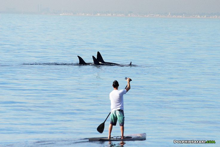 A paddleboarder gets an awesome view of Orcas near Dana Point. Credit: Mark Tyson / DolphinSafari.com