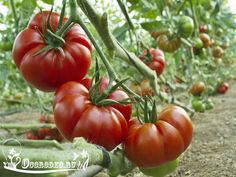 Подкормка томатов при выращивании в открытом грунте - Огородко