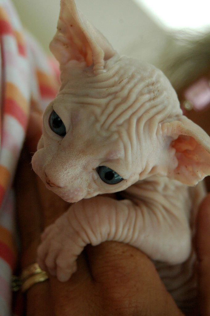 "I am not a big fan of cats, I like dogs. But these ""hairless"" cats feel like velvet when you pet them and I find them adorable."