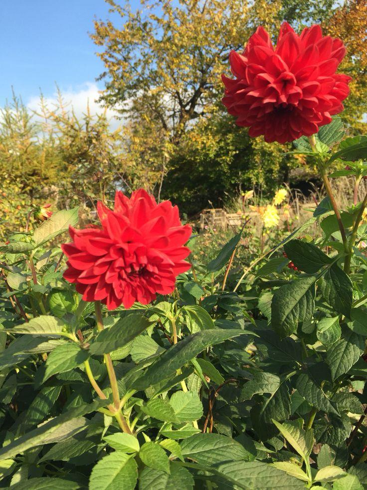 Organic dahlia, slowflowers, vildevioler.dk 2015