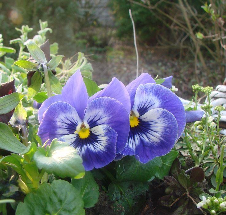 Rośliny i ogród, Wiosna w moim ogrodzie - Aura dzisiaj nam wyjątkowo sprzyjała a przyroda cieszyła różnobarwnością.